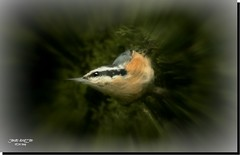 RED BREASTED Nuthatch (jawadn_99) Tags: yellow breasted chat colorful interrestingness ampqua usa america cafe river sutherlin oregon center impretionism tranquil quiet calm sober static peaceful reflections clouds fantasy abstract colors red blue winter scout flowers art photgraphy representationalart digital modern contemporary expression computer design explore
