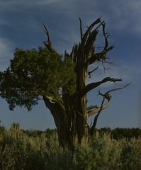 img007v1 (Growling Grizzly) Tags: juniper old gnarled peancebasin sagebrush