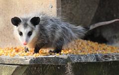 Virginia opossum at Lime Springs IA 653A4111 (naturalist@winneshiekwild.com) Tags: virginia opossum lime springs howard county iowa larry reis