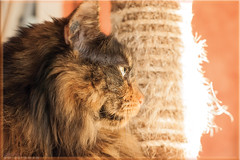 DSC07412 (Olpo2vin) Tags: cat chat yeux eyes regard look félin feline olpo easy poils fourrure redessan 30129 animaldecompagnie vibrisses