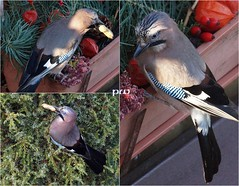 ...frostiger Morgen im Garten (peterphot) Tags: frost garten eichelhäher sony sachsen tamron600