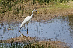 "Eastern Great Egret - Great Egret - Ardea alba modesta - Egret - Large Egret - White Egret - White Crane -  Aboriginal name: ""moolpa"" (Pamela Jay) Tags: easterngreategret greategret ardeaalbamodesta egret largeegret whiteegret whitecrane aboriginalnamemoolpaaustraliawetlandsriverslakesswampsestuariessaltmarshmudflatsbirdwhitepamela canon flickr queensland pamelajay naturephotography nature australia wetlands swamps estuaries rivers lakes saltmarsh mudflats"