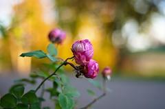 October roses (Stefano Rugolo) Tags: stefanorugolo pentax k5 pentaxk5 smcpentaxm50mmf17 kmount autumn october roses bokeh depthoffield flowers manualfocuslens manualfocus manual sweden
