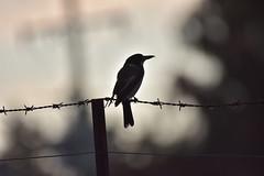 Grey Butcherbird (Luke6876) Tags: greybutcherbird butcherbird bird animal wildlife australianwildlife nature silhouette