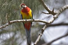 Eastern Rosella (Luke6876) Tags: easternrosella rosella parrot bird animal wildlife australianwildlife nature