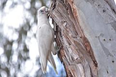 Little Corella (Luke6876) Tags: littlecorella corella cockatoo parrot bird animal wildlife australianwildlife nature