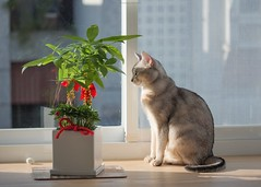 20190805_12_LR (enno7898) Tags: panasonic lumix lumixg9 dcg9 xvario 35100mm f28 cat abyssinian pet