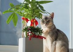 20190805_01_LR (enno7898) Tags: panasonic lumix lumixg9 dcg9 xvario 35100mm f28 cat abyssinian pet