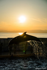 DSC20618_wm (rosev838) Tags: enosui enoshima sunset dolphin