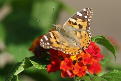 Maltese Lady (Roy Lowry) Tags: paintedlady butterfly malta vanessacardui stjulians sliema