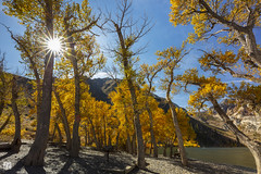 037A6538 Tree Frontal (lycheng99) Tags: autumn autumncolors landscape nature travel lake convictlake yellow colors sun starburst backlit backlighting beach monolake explore trees