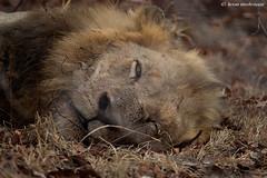 The slumbering King... (leendert3) Tags: leonmolenaar southafrica krugernationalpark wildlife wilderness wildanimal nature naturereserve naturalhabitat predator mammal africanlion ngc coth5 npc