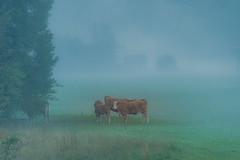 Morning mist on the pasture (a7m2) Tags: slowenien bohinjskabella bled veldes natur weide kühe pasture cows morgennebel morningmist