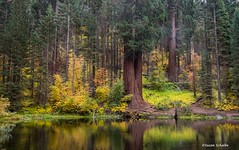 The old mill pond (Photosuze) Tags: ponds sequoianationalforest balchpark trees reflection landscape forest water sequoias pines california