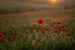 remember (Emma Varley) Tags: poppies poppyfield rememberancesunday lestweforget