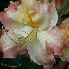 Rain on a Rhodo (scinta1) Tags: newzealand christchurch botanicgardens plants flowers rhododendron colour petals water raindrops stamens