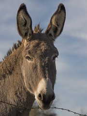 Forte tête * (Titole) Tags: ânesse donkey titole nicolefaton friendlychallenges