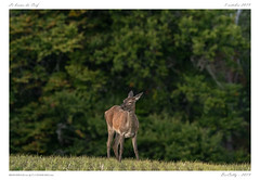 Le brame (BerColly) Tags: france auvergne cantal mammifère mammal biche doe automne autumn forest forêt bokeh bercolly google flickr