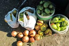 Los últimos tomates del huerto (Micheo) Tags: spain tomates cosecha hureto orchard granadas bolsas tomatesverdesfritos pelicula movie film