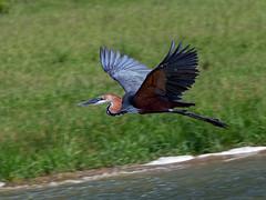 Oeganda '15_3810 (Jimmy Vangenechten 76) Tags: geo:lat=021096000 geo:lon=2988525500 geotagged oeganda uganda africa afrika wildlife safari bird vogel queenelizabethnationalpark kazingachannel purpleheron ardeapurpurea purperreiger