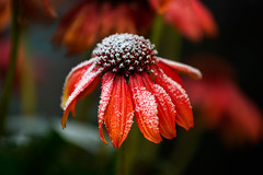 powdered . (helmet13) Tags: d800e raw flora flower blossom closeup bokeh selectivefocus echinaceapurpurea frost autumn red world100f aoi peaceaward innamoramento platinumpeaceaward level3worldpeacehalloffame level4gallerytheverybest