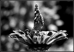 Motyl B&W. (andrzejskałuba) Tags: poland polska pieszyce dolnyśląsk silesia sudety europe plant plants roślina rośliny kwiat kwiaty flower flora floral flowers fauna macro motyl natura nature natural natureshot natureworld nikoncoolpixb500 naturephotographer nopeople monochrome beautiful beauty biały black beautyofnature cień czarny zinnia cynia blackwhite bw white day lato shadow summer ogród garden outdoor focusonforeground 100v10f 1000v40f