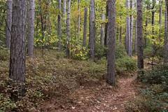 Pine trunks (RubénRamosBlanco) Tags: naturaleza nature bosques forests árboles trees pinos pines bosquemixto mixedforest camino vereda trail leominsterstateforest otoño fall mass usa