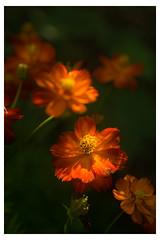 Orange Flowers In The Dark Green - Chanticleer - Wayne PA_Web 1-E_Scaled (johann.kisaame) Tags: bokeh botanicalgardens chanticleergardens closeup darkness flower flowers gardens green luminance macro orange pennsylvania philadelphia philadelphiasuburbs red shadows sunlight yellow artistic macrophotography