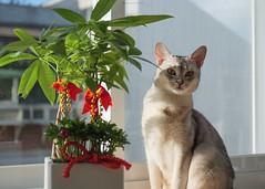 20190805_08_LR (enno7898) Tags: panasonic lumix lumixg9 dcg9 xvario 35100mm f28 cat abyssinian pet