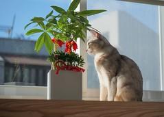 20190805_07_LR (enno7898) Tags: panasonic lumix lumixg9 dcg9 xvario 35100mm f28 cat abyssinian pet