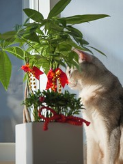 20190805_05_LR (enno7898) Tags: panasonic lumix lumixg9 dcg9 xvario 35100mm f28 cat abyssinian pet