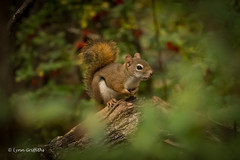 I can still see you! 502_2095.jpg (Mobile Lynn) Tags: redsquirrel rodents squirrel nature fauna mammal mammals rodent rodentia wildlife portsmouth newhampshire unitedstatesofamerica specanimal coth ngc coth5 npc