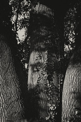 triple trunk ~HSS (Wendy:) Tags: tree trunks texture ivy bark mono hss