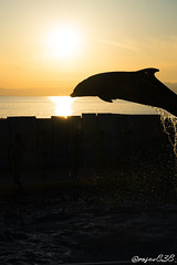 DSC20612_wm (rosev838) Tags: enosui enoshima sunset dolphin