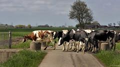 Groningen: Hekkum, cows crossing (Henk Binnendijk) Tags: hekkum cows koeien cattle vee melkkoeien weiland country agriculture boerderij farm dairyfarm veeteelt groningen netherlands nederland thenetherlands holland dutch
