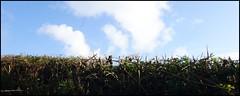 flailed hedge (Philip Watson) Tags: luppitt eastdevon blackdownhills autumn hedge flailed clouds sky