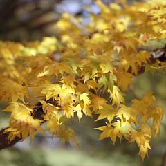 (Andrew :-)) Tags: bronicasqa zenzanons150mm35 kodakportra400 mediumformat 120 6x6 winkwortharboretum autumn