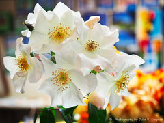 Single petalled rose bunch white (Julie V. Simpson Photographer) Tags: green trees leaves nature shadows naturalworld instadaily instagram instanature naturephotography naturelovers natureza natureperfection newzealand waimatenorth apshow roses horses tractor