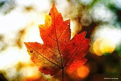 The epitome of....HSS!!! (Joe Hengel) Tags: theepitomeof leaf fall fallcolors bokeh texture delaware de lowerslowerdelaware lsd milton miltonde colorful happyslidersunday sunday slidersunday hss slider slide