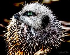 Meerkat (milan_146) Tags: sliderssunday hss meerkat suricate gmic gimp rodilius nikon d7100 nikkor