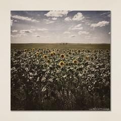 Sunflower Field - South Dakota (GAPHIKER) Tags: sunflower southdakota texture happyslidersunday hss lenabemanna outwest tone desaturated selectedcolor sc