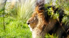 The King - 7685 (✵ΨᗩSᗰIᘉᗴ HᗴᘉS✵84 000 000 THXS) Tags: king theking lion roi roidelajungleroi de la junglefauvenaturepairi daizasonysony dscrx10m4belgiumeuropaaaanamuroiselookphotofriendsbeyasmine hensinteresteufrpartygreatphotographersla namuroise flickering