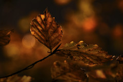 Autumn Peace (shawn~white) Tags: ©shawnwhite bokeh fujifilmxt2 copper gold beauty calm dreamy enchanting peaceful reflective restorative autumn fujinonxf18135f3556rlmoiswr closeup woodland leaf leaves woods forest deciduous tree beech branch