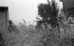 Misty morning (odeleapple) Tags: leica m3 nokton classic 35mm yellowfilter kodaktmax400 film monochrome analog bw mist morning weed