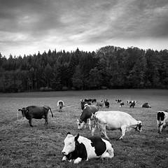 Swiss Countryside (Role Bigler) Tags: bw cows emmental fujifilmxt2 fujinon fujinonasphericalsuperebcxf1855mm1284rlmois herbst kuh natur rind acrosfilmsimulation autumn blackwhite blackandwhite cattle cold countyside cow fall forest herd herde monochrome nature nilssilverefexpro2 schwarzweiss schweiz silverefexpro2 suisse switzerland wald wet wood kirchberg kantonbern square