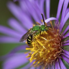 Striped Sweat Bee (Rock_Doc) Tags: focusstack 60mm closeup macro bloom bog sifton lindon ontario canada 60d canon pollen nectar insect purple flower aster green stripedsweatbee sweatbee bee