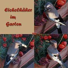 ...im Garten heute Morgen (peterphot) Tags: vögel birds natur eichelhäher sony sachsen tamron600