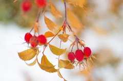 Red and Gold (~DGH~) Tags: 2019 alberta canada edmonton november pentaxk50 autumn fall gold leaves red rosehips smcpentaxdfamacro100mmf28wr ~dgh~ macro
