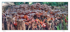 Autumn Magic (Andy Gant) Tags: commonbonnet mycenamushrooms autumn autumnalcolour mushrooms toadstools magic colours colors colour color treestump woodland deadwood woodlandfloor autumnmagic textures texture hdr fairyland hss sliderssunday red walkwiththedogs fairyfortress