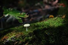 Solitario (celestino2011) Tags: fungo natura verde prato montagna riccio castagne bobbiopellice